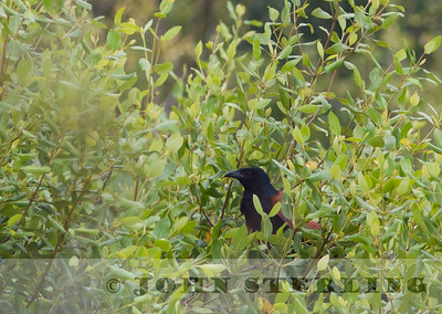 Greater Coucal; coastal Medan near Percut; Sumatra; March 2011