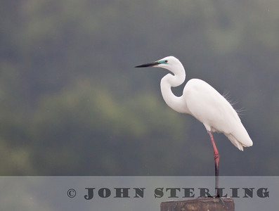 Great Egret; coastal Medan near Percut; Sumatra; March 2011