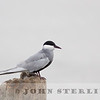 Whiskered Tern; coastal Medan near Percut; Sumatra; March 2011