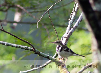 Forest Wagtail; Gayo Highlands, Aceh Province, Sumatra; March 2011