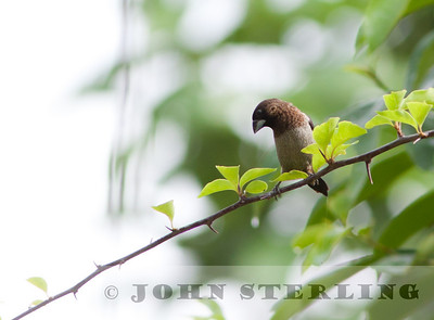 Scaly-breasted Munia; Gayo Highlands, Aceh Province, Sumatra; March 2011
