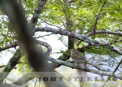 Yellow-browed Warbler; Gayo Highlands, Aceh Province, Sumatra; March 2011