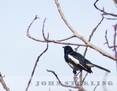 Oriental Magpie Robin; Gayo Highlands, Aceh Province, Sumatra; March 2011
