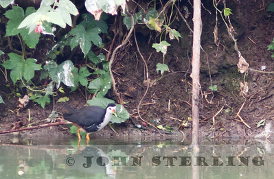 White-breasted Waterhen; Medan; Sumatra; March 2011
