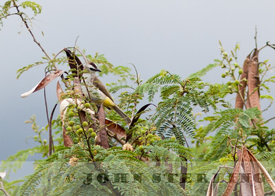 Yellow-vented Bulbul; Gayo Highlands, Aceh Province, Sumatra; March 2011
