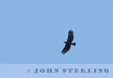 Changeable Hawk-Eagle; Gayo Highlands, Aceh Province, Sumatra; March 2011