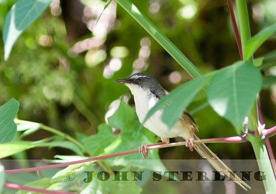 Hill Prinia; Gayo Highlands, Aceh Province, Sumatra; March 2011