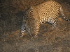 0148 7-28 Mala Mala Leopard