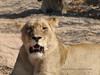 0211 7-29 Mala Mala Lion