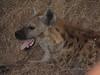 0142 7-28 Mala Mala Spotted Hyaena