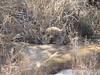 0203 7-29Mala Mala Lion Cub