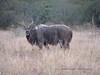 0299 7-30 Mala Mala Kudu