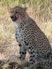 0189 7-29 Mala Mala Cheetah Eating Steenbok