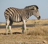 0236 7-29 Mala Mala Plains Zebra