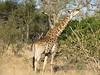 0249 7-29 Mala Mala Giraffe