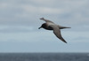 Drake Passage - Light-mantled Sooty Albatross.