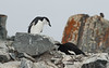 Antarctica - Half Moon Island - Guarding from above.