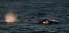 Drake Passage - Several of the many whales seen throughout the trip.