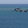 Pelicans in Bonaire Bonaire