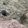 Bonaire crabs