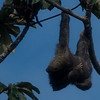 Sloth;   Puerto Limon, Costa Rica;