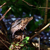 Lizard inside Manuel Antonio National Park Costa Rica