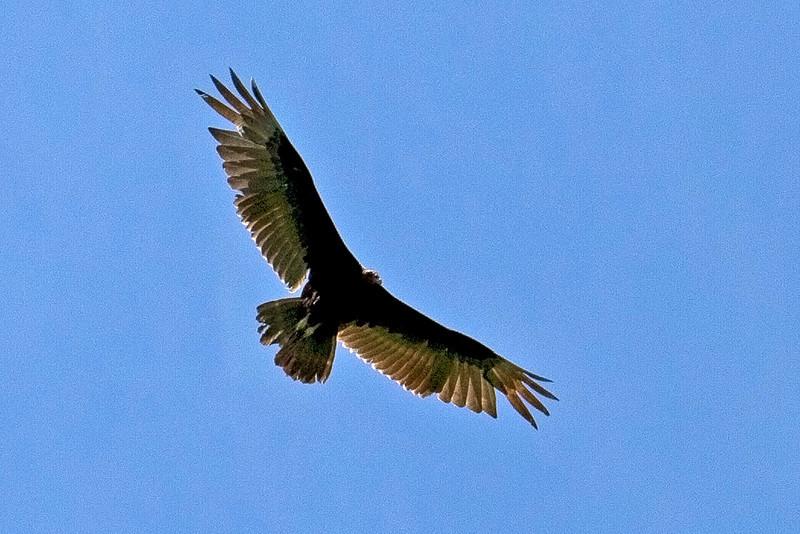Vulture; Puerto Limon, Costa Rica; Bucuare Jungle Haven