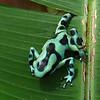Frog, Puerto Limon, Costa Rica; Bucuare Jungle Haven