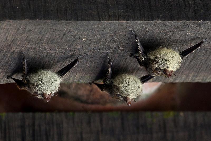 Bats, Puerto Limon, Costa Rica;  Bucuare Jungle Haven
