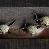 Bats, Puerto Limon, Costa Rica;  Bucuare Jungle Haven