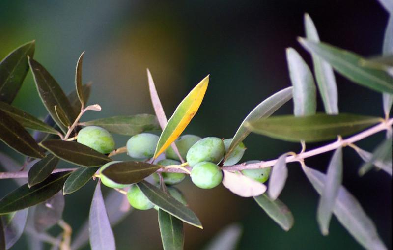 Sangemil - Olive Branch