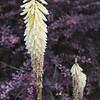 Sissinghurst - Flower.