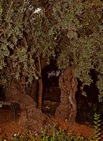 Olive trees alive on the mt. of Olives when Jesus was there.