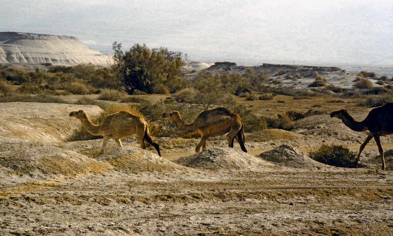 Wild or loose camels.