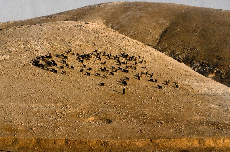 Bedouin sheep and shepherd.