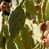Sabra, a prickly pear.  Jews, claim like this fruit, they are hard on the outside but sweet on the inside.  Sabra is a native Israeli born Jew.