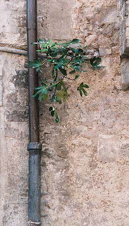 Tuscany fig plants grow everywhere.