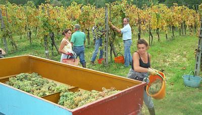 Grape Harvest in Tuscany