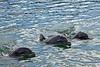 Dolphins at Costa Maya