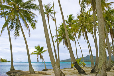 Palm trees Motu south pacific raiatea French Polynesia