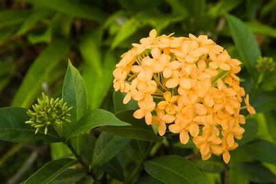 Flower tahiti French Polynesia