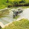 Water Buffalo in a ditch.