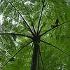 Cyathea bicrenata - Tree fern