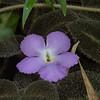 Gesneriaceae - <br /> Episcia lilacina