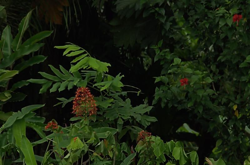 Clerodendrum paniculatum - Java Glory Bower
