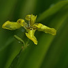 Neomarica logifolia - Yellow Walking Iris