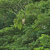 Bradypus variegatus - Brown-throated Three-toed Sloth