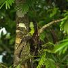 Basiliscus plumifrons - Green Basilisk