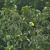 Ramphastos swainsonii - Chestnut-mandibled Toucan or Black-mandibled Toucan