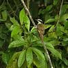 Pitangus sulphuratus - Great Kiskadee